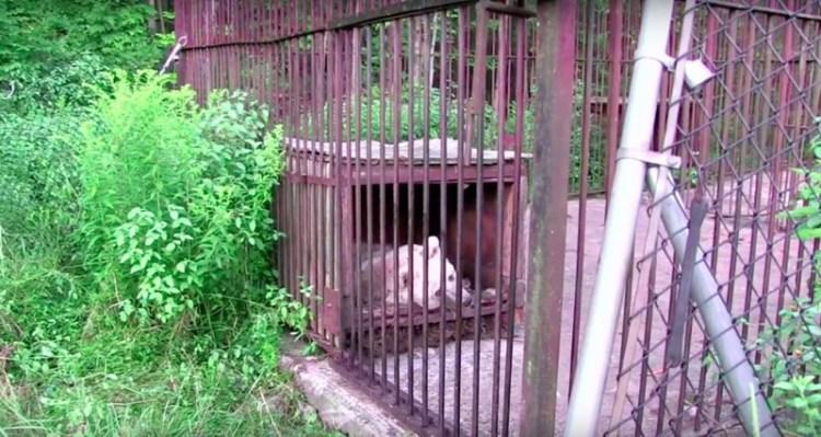 Эта Медведица Ждала Своего Освобождения На Протяжении 30 Лет