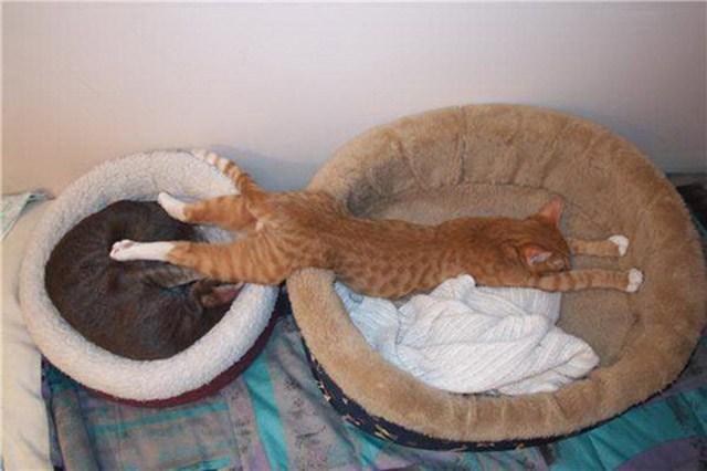 20 самых неуклюжих и смешных поз, в которых засыпают кошки.